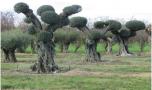 N°191 – L'olivier s'afranchimandís (Lo Cebier 136)