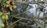 N°193 – Oliviers et olives