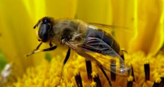 Abelhas e insectes en dangièr